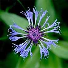 цветы василька применение
